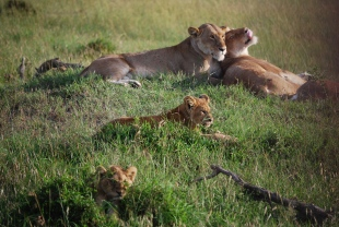 safaris per massai mara